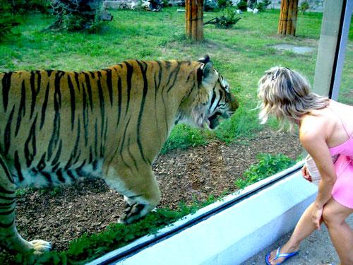 Встреча с тигром. Зоопарк, Вроцлав