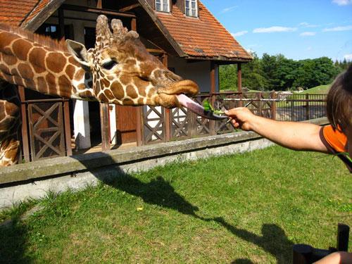 Жираф. Зоопарк, Вроцлав