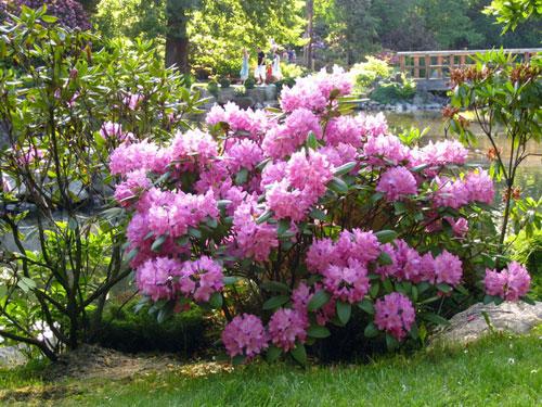 Рододендрон. Японский сад, Вроцлав
