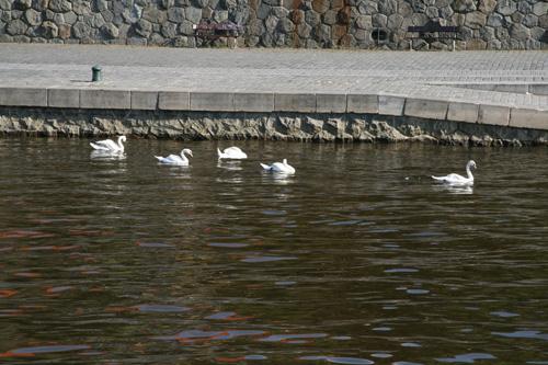 Прага, река Влтава, лебеди