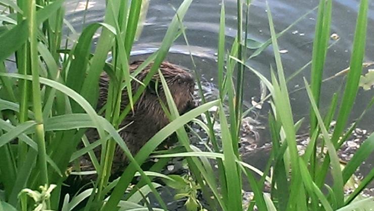 Бобер в озере Позняки