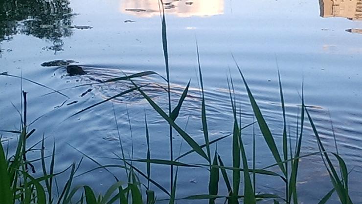 Бобер плывет по озеру Позняки