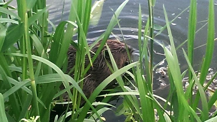Бобер на озере Позняки